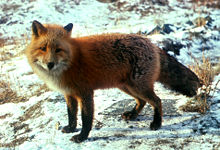 Lent 2  American red fox in wintercoat standing_in_snow wikipedia