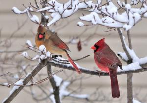 Winter Tree, Cardinals Deborah Chapman Newell