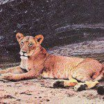 https://en.wikipedia.org/wiki/Elsa_the_lioness#/media/File:Elsa_the_Lioness.jpg