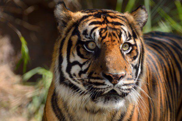 http://www.publicdomainpictures.net/view-image.php?image=101635&picture=sumatran-tiger