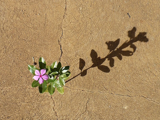 periwinkle growing through crack