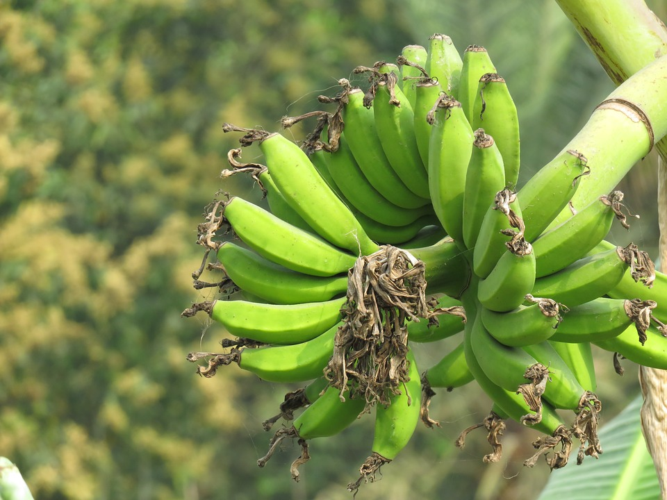 Bananas growing in a bunch on a tree