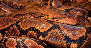 One last beautiful snake. Public domain photo from Pixabay.