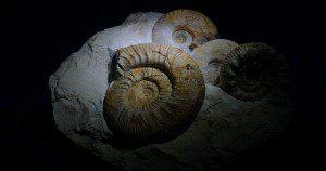 Fossilized ammonites. Public domain photo from Pixabay.
