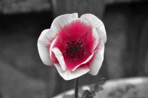 wind-flower-699971_1920