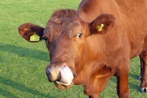 cow-1367825_640