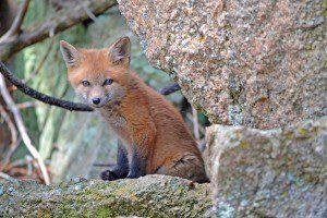 fox-1031693_1280