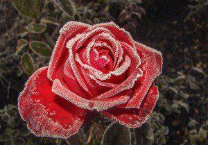 rose-1612360_640