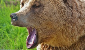 european-brown-bear-1572351_640