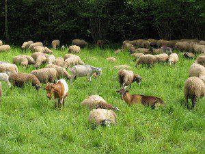 sheep-1760586_640
