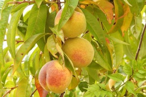 peaches-1612553_640