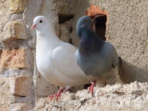pigeons-1178919_640