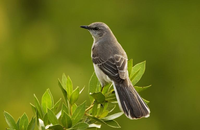 Rather than use Mississippi's state flag for this post's featured image I thought it better to highlight the state bird, the Mockingbird. The flag has the confederate flag in it and I'm a believer in American values, which the confederacy most decidedly is not. Image credit goes to Skeeze over on Pixabay.