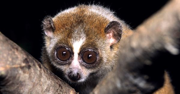 pygmy slow loris night animal
