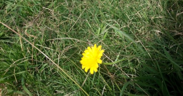 One lonely dandelion
