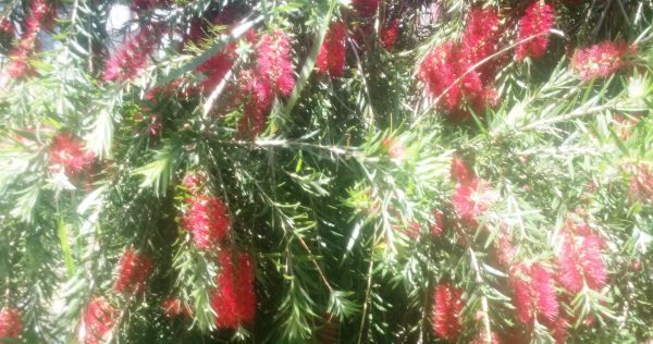 Red bottlebrush is a perfect symbol of summer