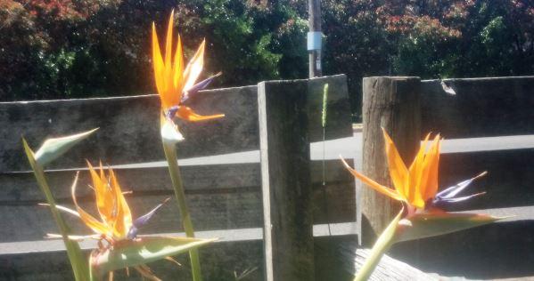 My kathiskos has been good for my bird of paradise