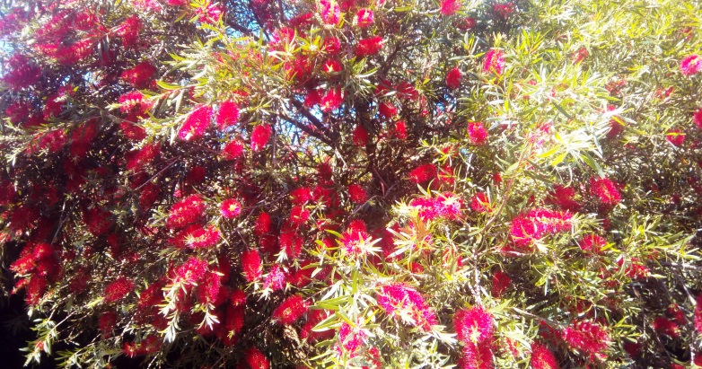 A tree that grows everywhere in Australia, but do you know how to use it in your Paganism?