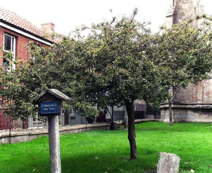 The Glastonbury Holy Thorn, St. John's Church, Glastonbury. Photo © Sorita d'Este, 2013