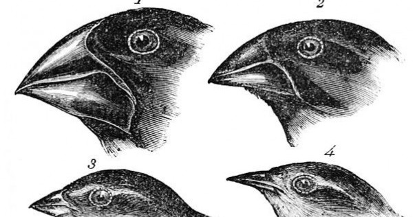 The finches of the Galapagos Islands convinced Charles Darwin that natural selection was the most powerful mechanism of evolution.