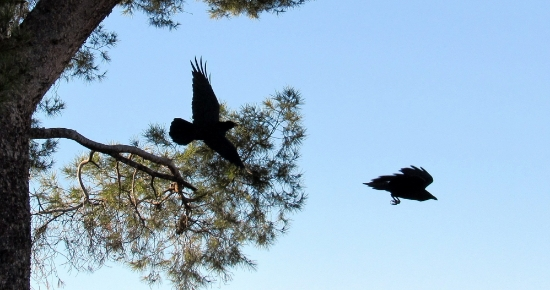Ravens in flight--cropped