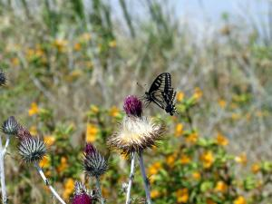 A yellow swallowtail butterfly enjoys late spring in Southern California. Via Keith Onstad.