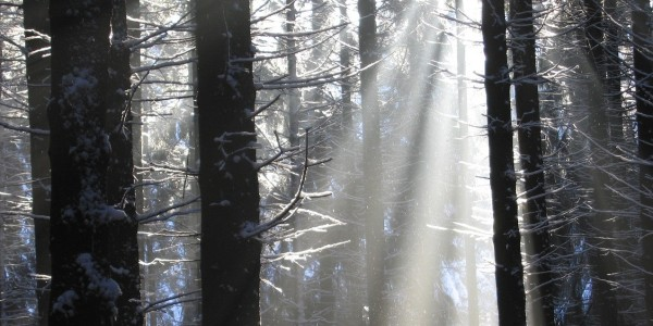 light beams through a winter forest