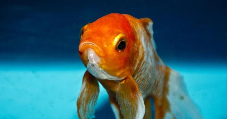 Sad Goldfish