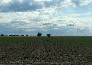 2017 cornfield in May