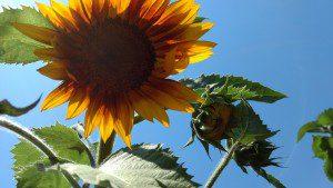 2017 sunflower