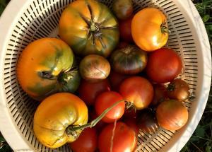 2017 fall tomatoes