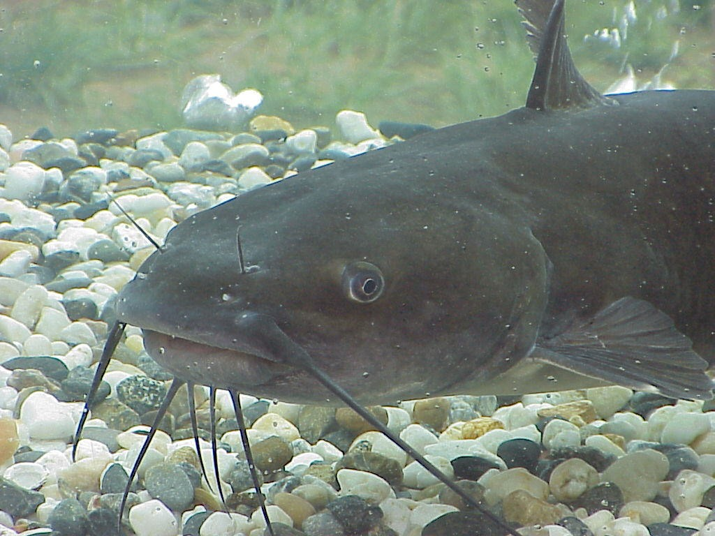 Catfish, Ian Young's term - by U.S. Army Corps of Engineers (Public Domain), via Wikimedia Commons