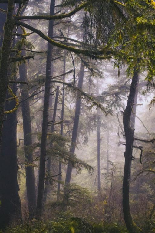 A misty woods filled with fir trees.