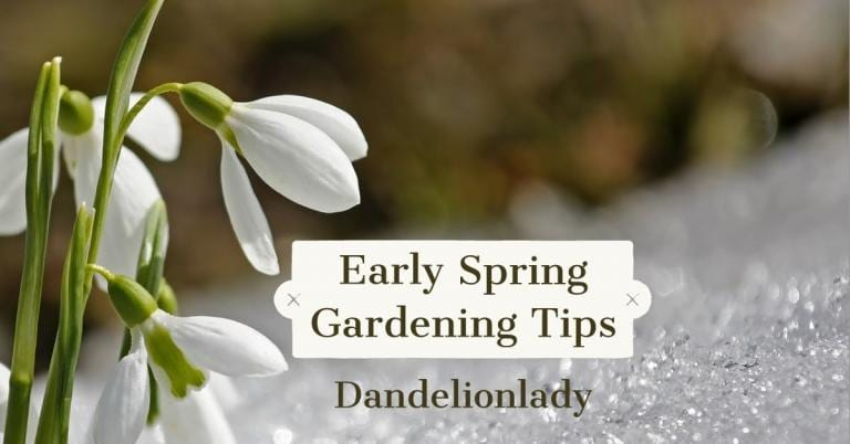 "snowdrops blooming in snow with the text ""Early Spring Gardening Tips, Dandelionlady"""