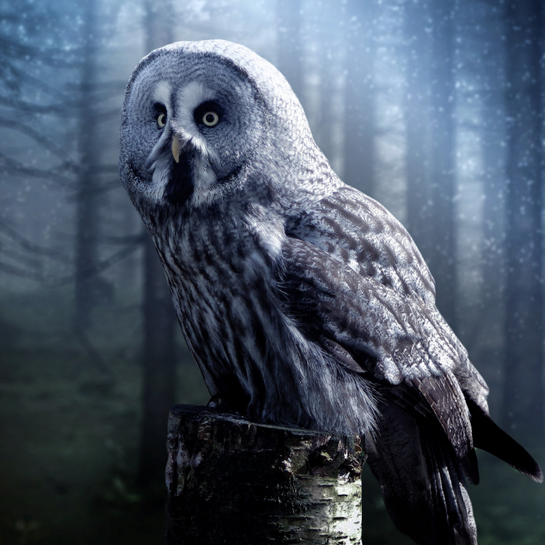 an image of an owl with black and white barred patterning perched on a birch stump with a background of dim light and bare pine trees.