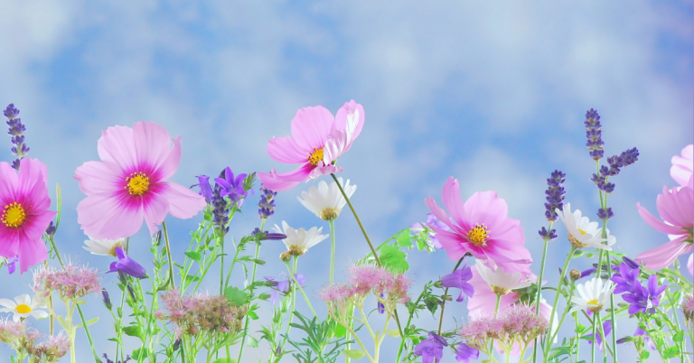 Against a blue backdrop we see pink cosmos and purple lavender flowers.