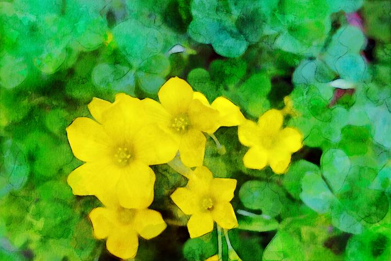 Wood Sorrel watercolor image with yellow blossoms and three heart shaped leaves.