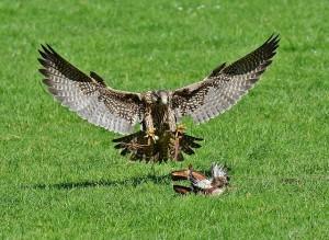 falcon-1325785_640