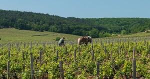 Worker in Vineyard