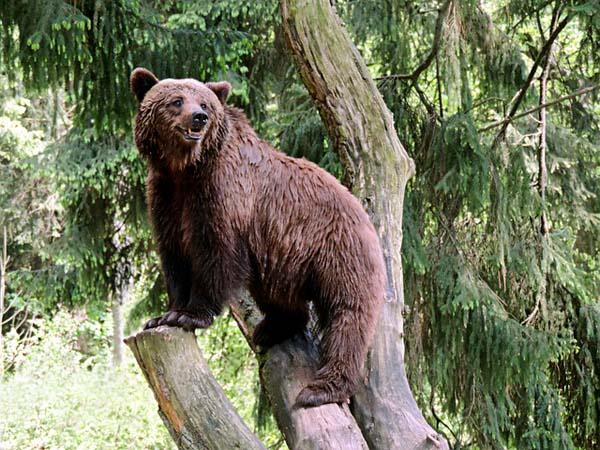 brown-bear pixabaycom