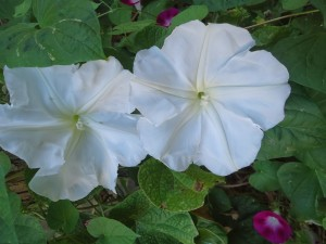 Datura vs Morning Glory the confusion of Moonflowers | Annwyn Avalon