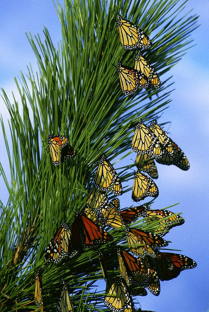Monarch butterflies migrating (Public domain)