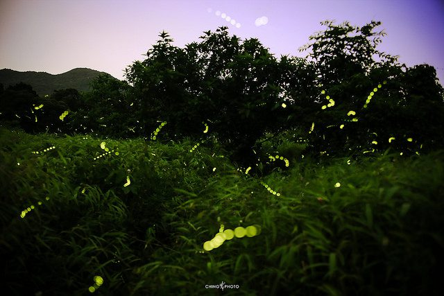 Firefly. Photo credit: Ching Ching Tsui, some rights reserved. https://www.flickr.com/photos/chingchingtsui/