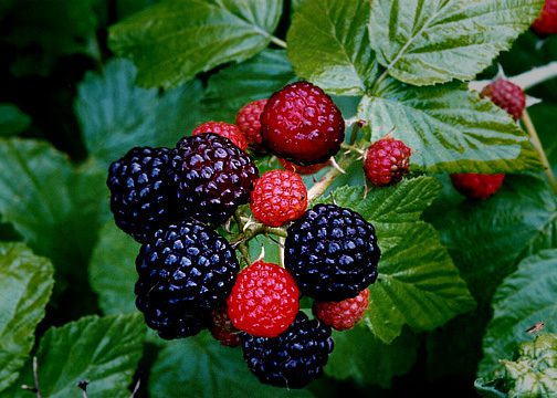 wild_black_raspberries