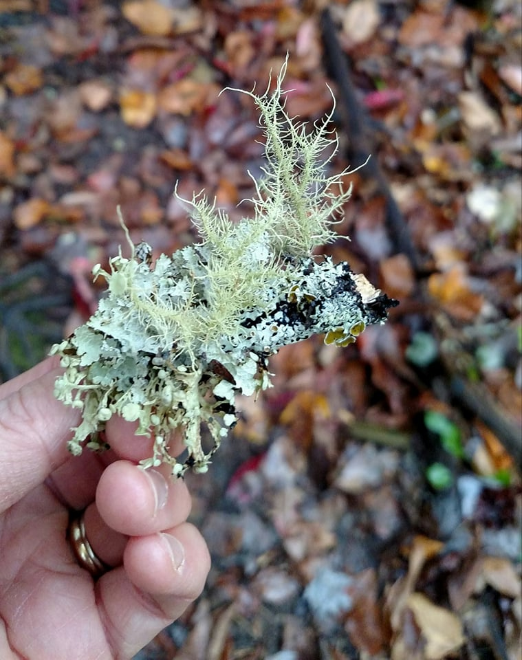 Feathery lichen. Blanton Forest, Ky. Photo credit: Leah D. Schade. All rights reserved.