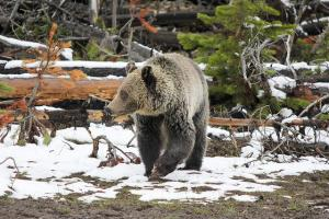 Grizzly bear, Yellowstone National Park. Public domain.