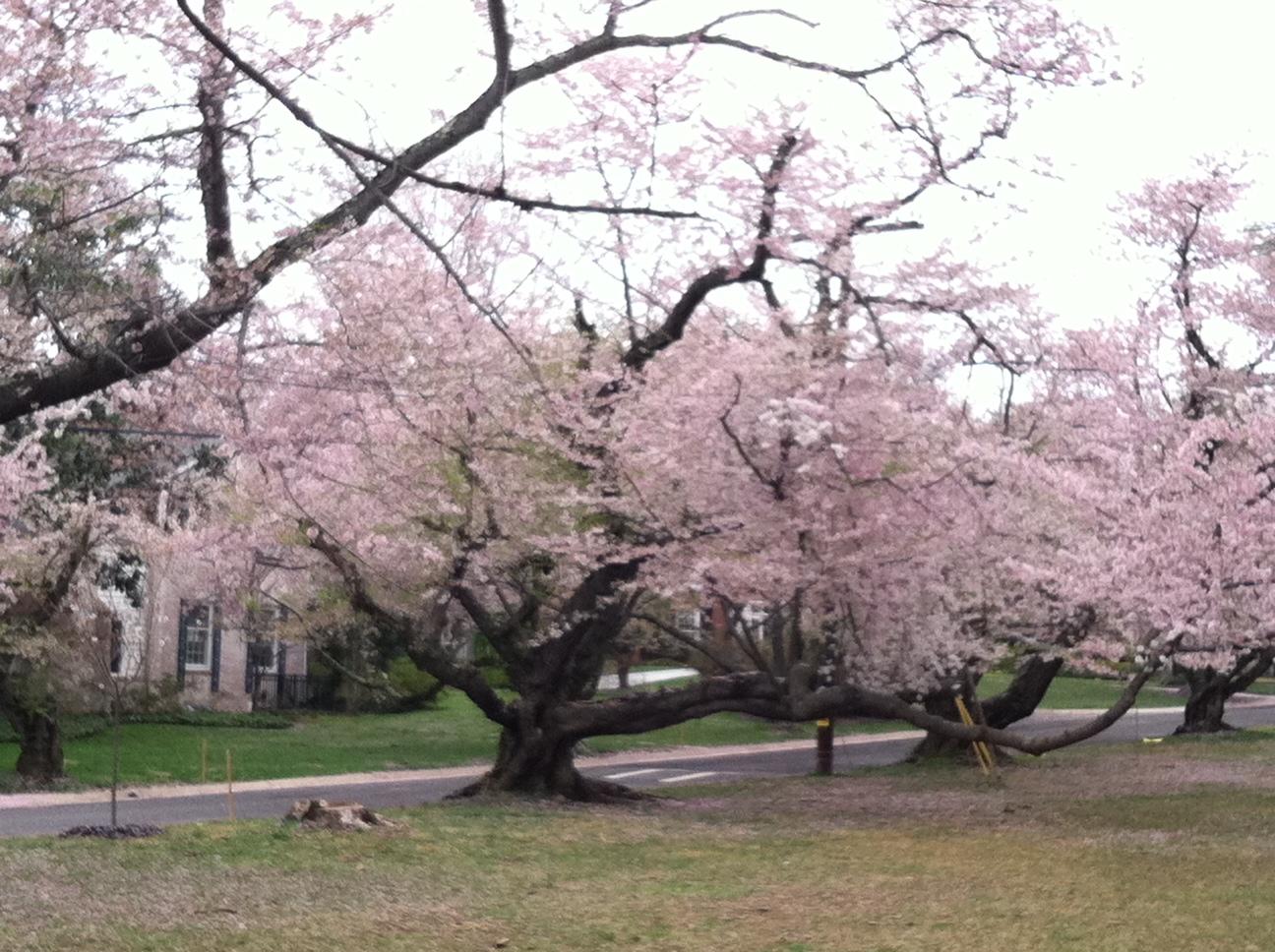flowering-tree-on-april-4-2011-bike-ride[1]