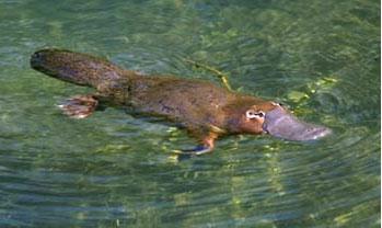 platypus[1]