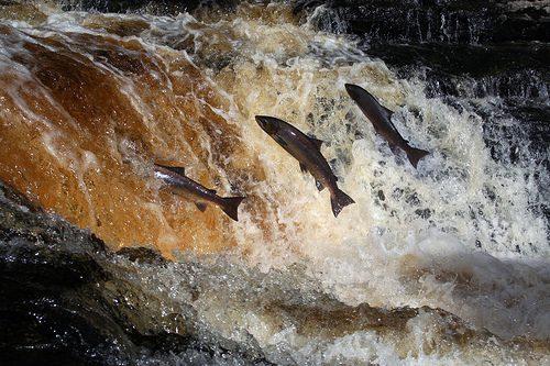 salient salmon[1]