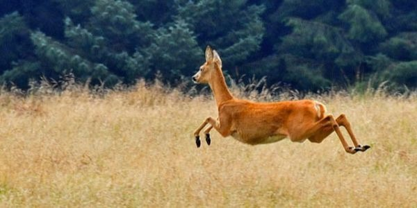 Run like a deer. Wikimedia Commons.